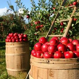 barrels-of-apple