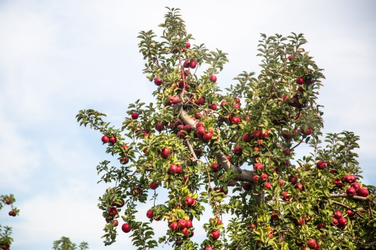 The orchards of Angry Orchard in Walden, NY